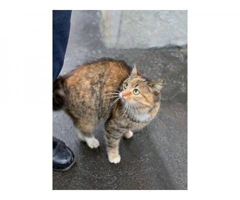 Трехцветная красавица Мия, молодая домашняя кошечка ищет дом