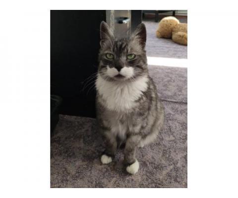 Шикарный кот Лорд