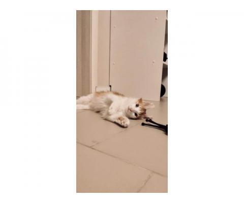 Рыже-белый кот Ронин