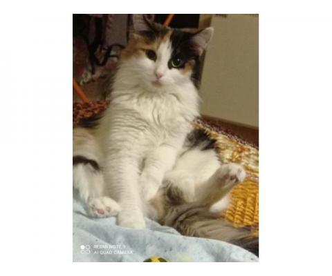 Кошка ЛИОНА в добрые руки