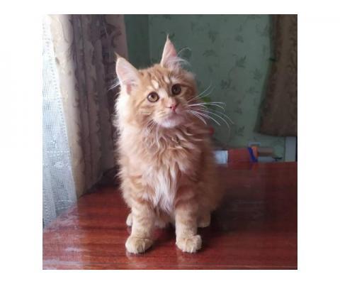 Шикарный котик курильский бобтейл от Чемпиона Мира