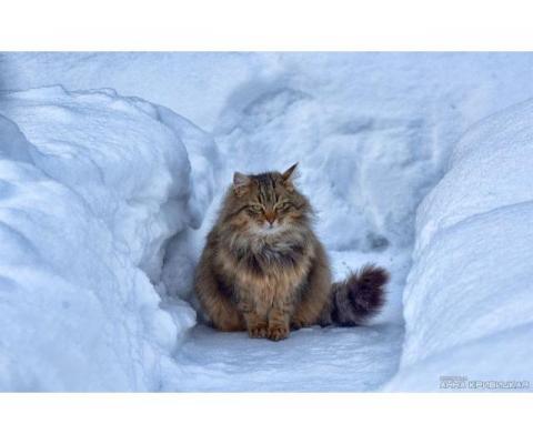 Сибирская кошечка (2года)