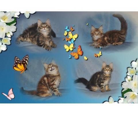 МЕЙН-КУН котятки