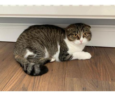 Булочка - шотландская вислоухая кошка ищет дом!