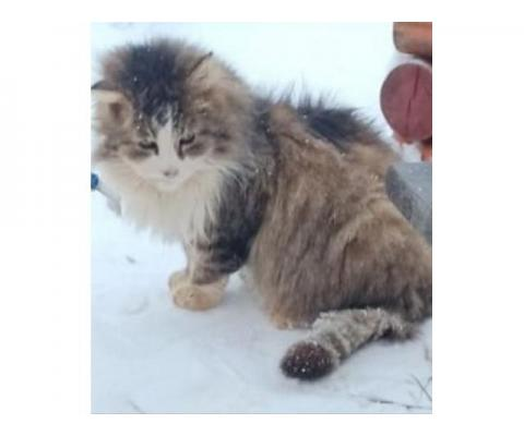 Взрослый пушистый котик ищет дом