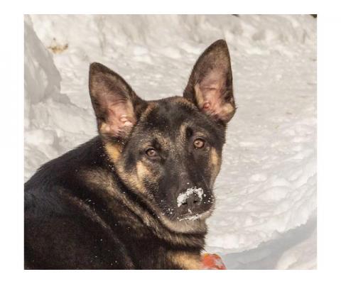 6 мес щенок метис овчарки Эма ищет семью!