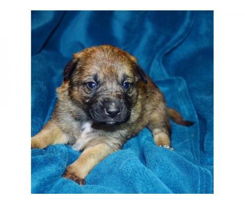 Красивая девочка щенок Милашка в добрые руки!