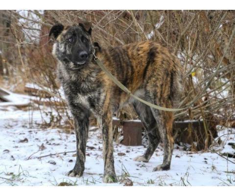Дива красивая молодая собака метис овчарки