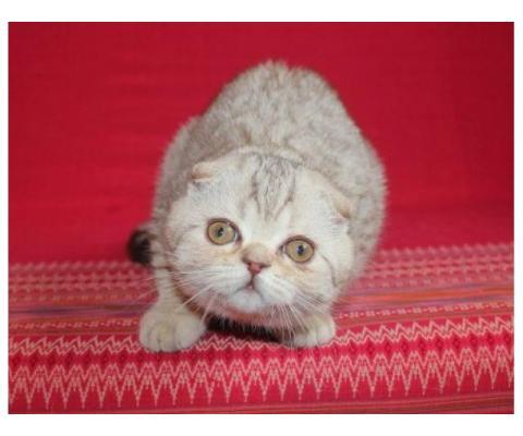 Шотландский котенок - компаньон!