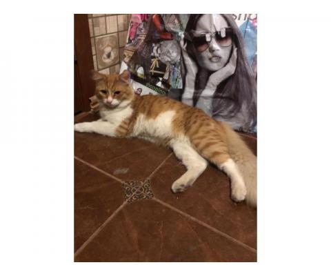 В дар пушистый  котик-подросток  рыжего окраса
