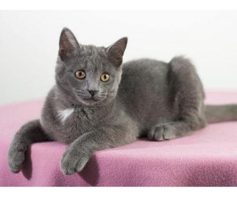 Серый  котик Сёма d lfh