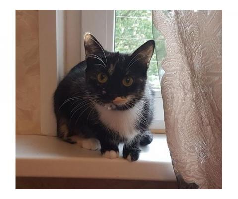 Кошечка-трёхцветка Мурочка в дар