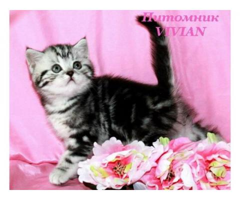 Британский клубный котик xthysq мрамор на серебре.
