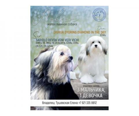 Щенки породы Малая Львиная Собака