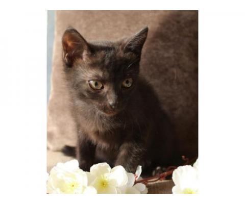 Котенок черного окраса с шоколадным оттенком