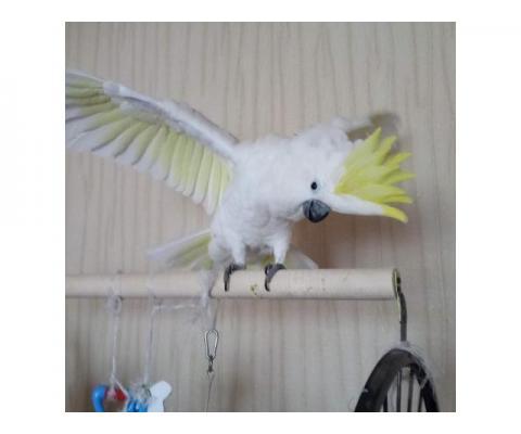 Возьму большого попугая в любимцы