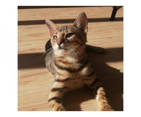 Бенгальский котенок Ф1