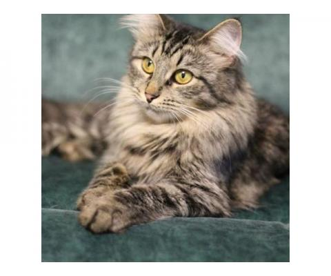 Кошка Таби.