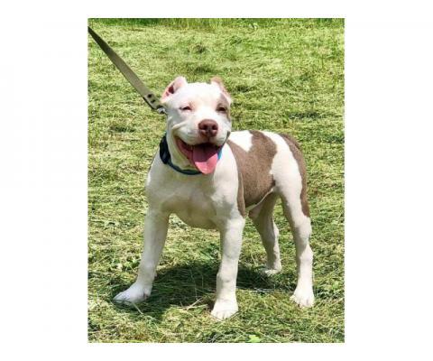 Великолепные щенки американского булли , с голубым и лиловым окрасом.