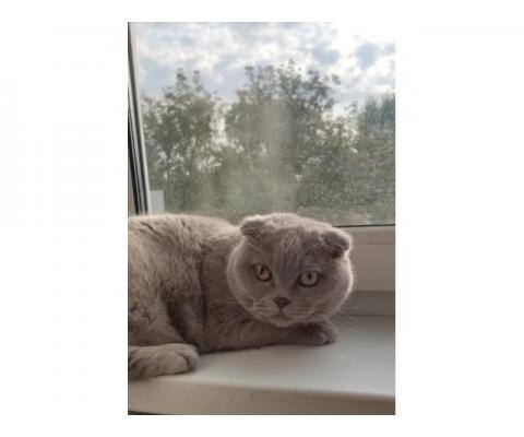 Британская кошка. Отдам  в хорошие руки