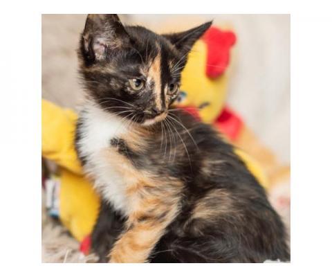 Котята ангорской кошки