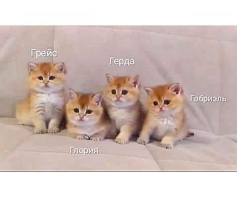 Элитные Британские золотые котята редких окрасов