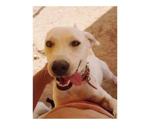Собака в дар. Белое Солнце Кипра. Обаятельная добрая Летта