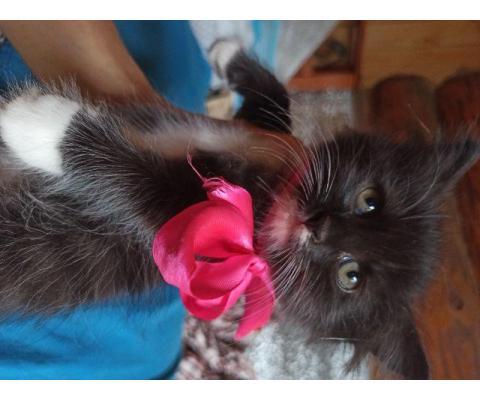 Интересные котята 2 месяца, окрас шоколадно-серебристый