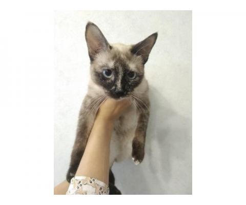 Кошка-красавица Сандра ищет дом