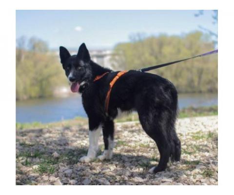 Пропала черно-белая собака с оранжевыми глазами, похожа на лайку