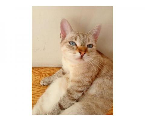 Отдам тайскую кошку даром