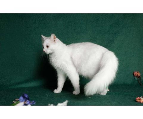 Молодая ангорская кошка Мира в дар