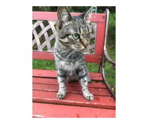 Зеленоглазый полосатый котенок Ода в дар
