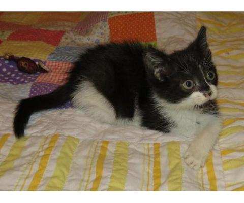 Ищет дом котёнок-девочка Фанни