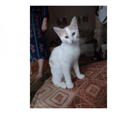 Бело-рыжий котик Персик в дар