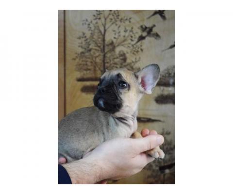 Французский бульдог щенки
