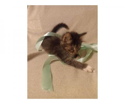 Марвин, котенок 2 месяца