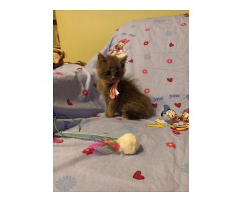 Дымка) кошечка 2 месяца