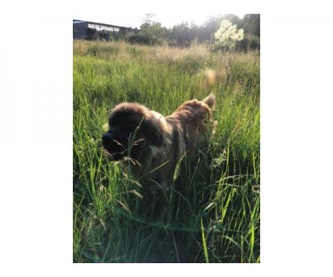Пропала большая собака рыжая с черной мордой