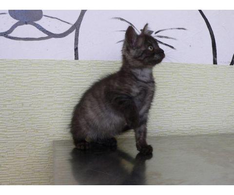 Котенок Шанель с уникальным окрасом ищет семью.