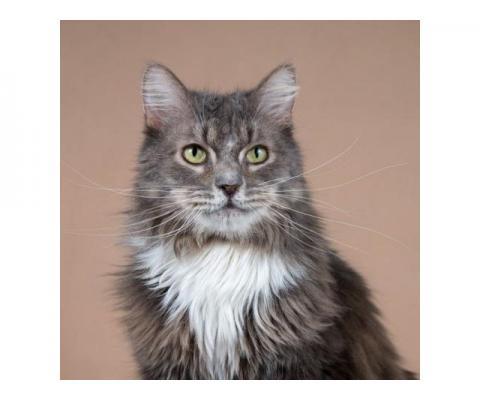 Добрейший пушистый кот Дымок ищет добрую хозяйку.