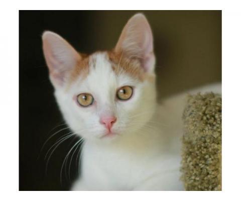 Котенок Чижик 6 мес. в дар.